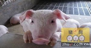 商品猪作种用考虑因素