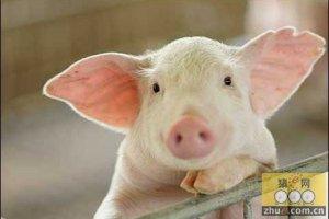 """新常态下的""""五元""""养猪模式"""