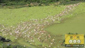 处理被泡生猪  增援部队受大雨影响暂停作业