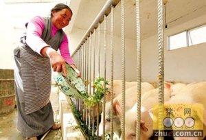 树叶喂猪瘦肉率高且成本下降15%