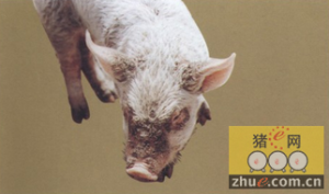 猪疥螨病解剖症状