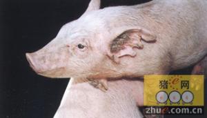 猪疥螨病临床症状