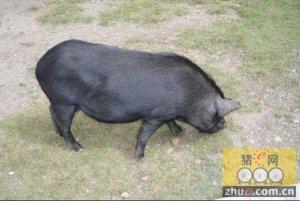 中国八大名猪--不看不知道