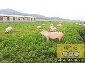 茶山上养猪 增收有道