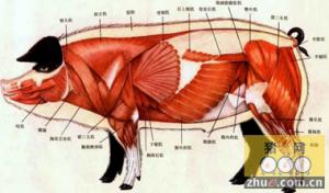 日本科学家疯了?让猪长出人类内脏