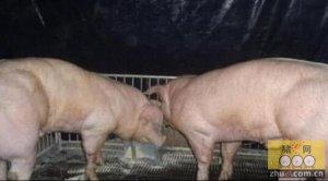 中韩转基因培育肌肉猪 今后吃肉再不用挑肥拣瘦了