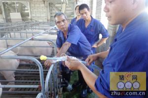 猪场常见病母猪子宫内膜炎的治疗