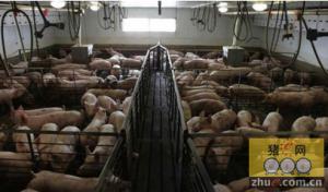 美国养猪同样有污染 居民不堪忍受