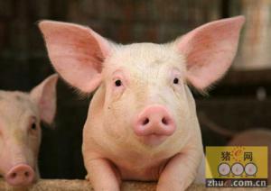 养猪奇闻:猪真的发飙了