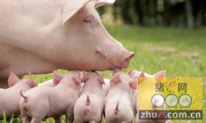 仔猪繁育管理的三个关键时期