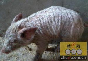 近期猪渗出性皮炎多发 如何诊治?