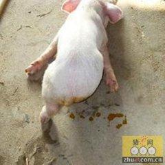 环境可能是猪痢疾在传播中的关键因素