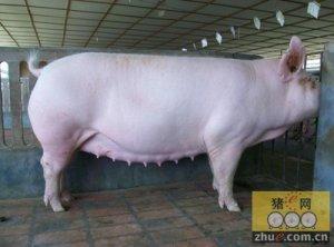 谨防高温季节母猪受胎率低