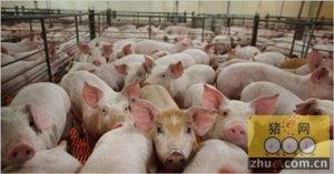 酷暑难耐!高温时节猪场控制注意哪些?