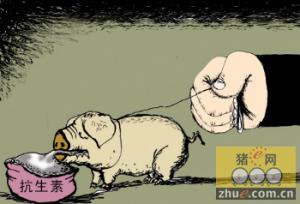 安徽天长:不用抗生素养出健康猪