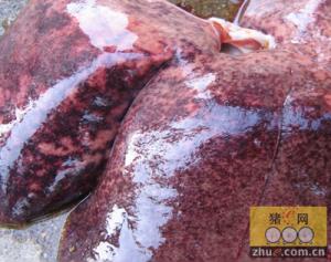 如何鉴别猪肝脏坏死灶属于哪一种疾病造成的?