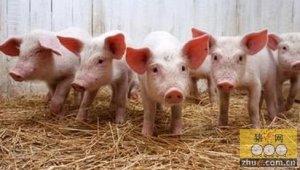 养猪业缺少维持产能稳定的制度设计 国家调控效果不大