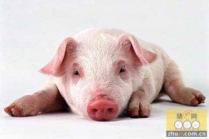 猪为什么咳嗽