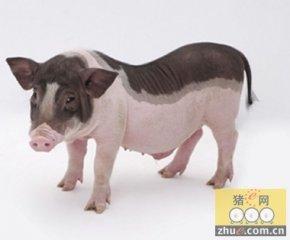 看好生猪养殖板块投资机会 畜禽养殖配置正当时