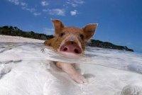 想做一只猪,面朝大海,每天游泳