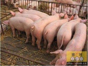 夏季育肥猪应激的管理要点