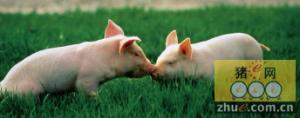病死猪肉是如何登堂入室的?