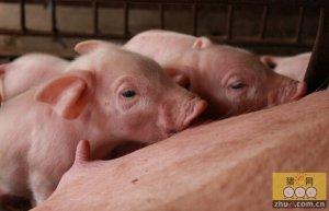 满足母猪妊娠期最后3个月营养需要可获得更高生产力