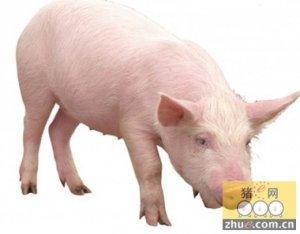 养殖场提高纯种猪育种水平的方法