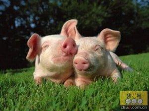 养猪成能手――生态养殖规模化