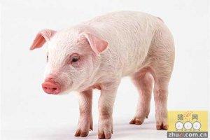 梅州市生猪养殖规模化逐年上升