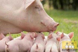 自繁自养型的养猪户资金开始回笼