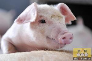 丁磊:哥养猪不是玩玩是事业