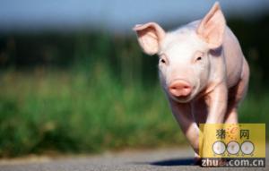 """猪价涨""""疯""""了 四建议教你避风险"""