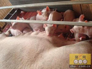 仔猪腹泻竟然和母猪奶水有关?