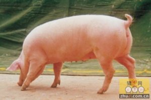 调整期的上涨趋势让养猪人有点着急
