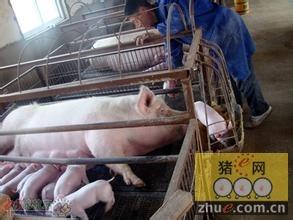 怎么给仔猪固定乳头?
