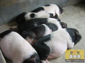 全国最大花猪生态养殖基地建成投产!