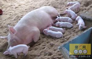 母猪分娩前后的饲养