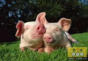 """养猪技术的""""三良""""法饲养育肥"""