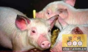 猪蓝耳病,给养猪业留下的教训