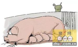 为什么母猪会拒绝给仔猪哺乳?