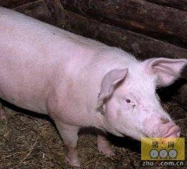 双节临近 猪价趋稳需抢抓市场良机