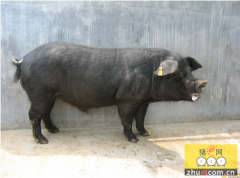 浅谈种公猪调教的六大措施