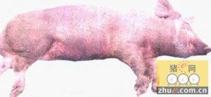 猪瘟的发病剖检特点及防治措施