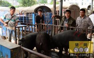 云南水塘集镇:生猪交易助百姓致富