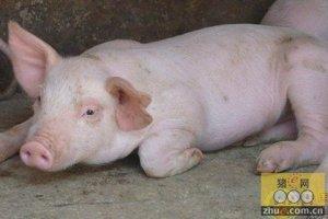 生猪价格或将会在11月出现拐点 重回涨势