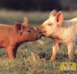 非洲猪瘟-将其拒之猪场之外