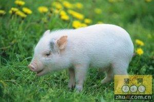压栏大猪逐渐得到释放 后市上涨概率很大