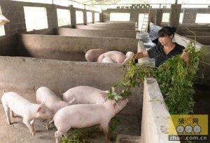 王寨:村级入股强养殖 夫妻养猪奔小康