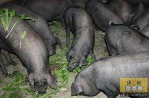 用传统方法养殖传统猪种